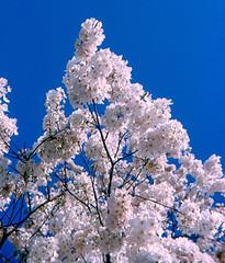 Washington - Closeup of Cherry Blossoms