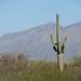Tucson Saguaros