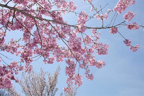 Prunus subhirtella 'Rosy Cloud'