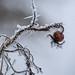 frozen rose-hip by Bluesrose