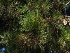 pine needle macro