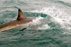 animal, marine mammal, fish, sea, marine biology, wind wave, wave, lamniformes, cartilaginous fish,