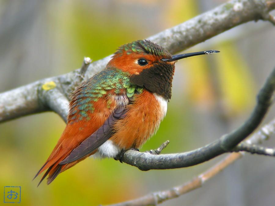 Allen's Hummingbird 02102-1
