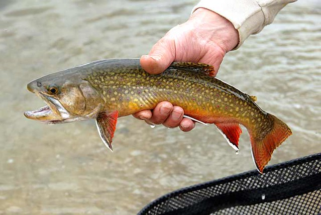 Brook trout flickr photo sharing for Vermont state fish