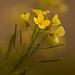 Buscando la luz... (Diplotaxis lagascana)  (Cabo de Gata, 20-03-2010)