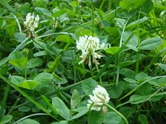 shrub, trifolieae, flower, wildflower, flora,