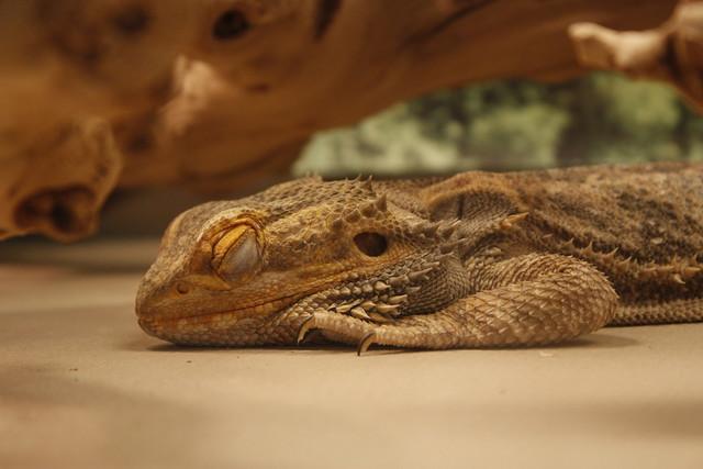 A sleeping bearded dragon | Flickr - Photo Sharing!