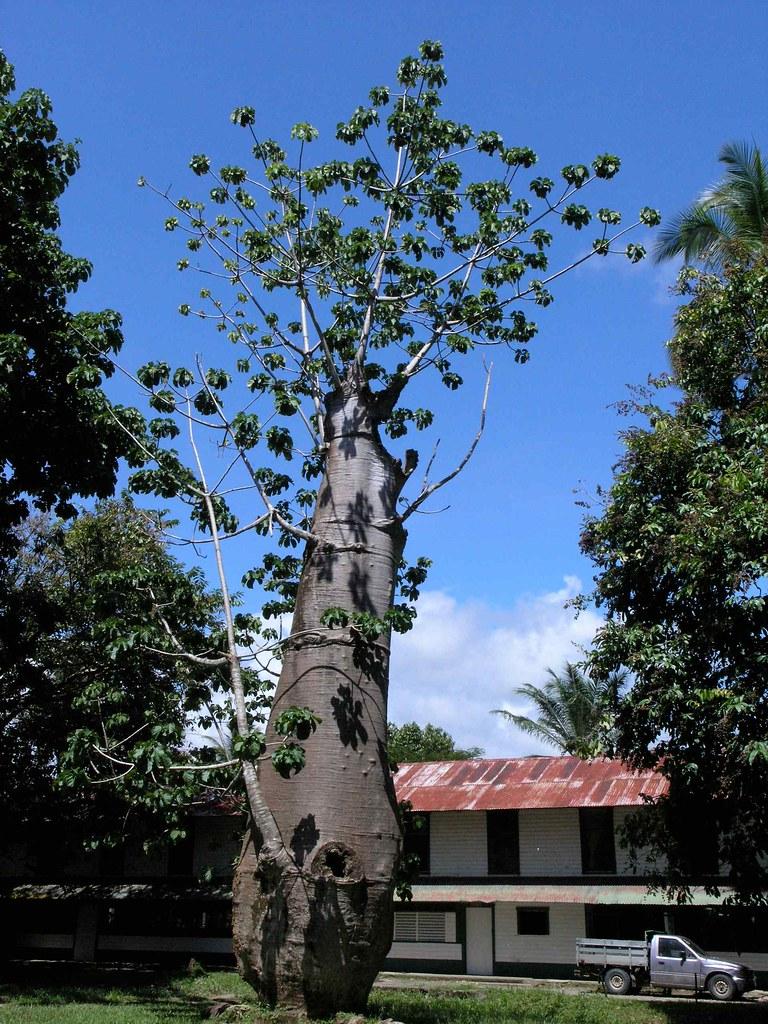 caudiforme tree rbol de tronco grueso palmar del sur