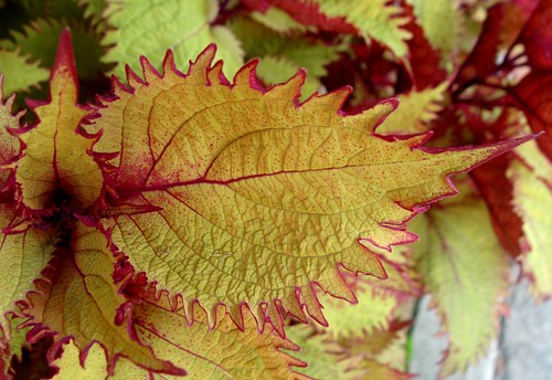 Coleus leaves, September, Downtown Brevard, NC