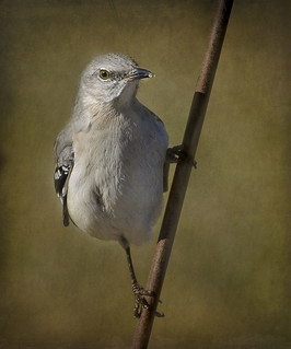Pole Dancing Mockingbird