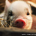 SO PIGGIN CUTE