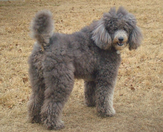 poodles old english sheeppoodle to download old english sheeppoodle ...