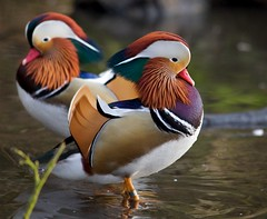 puffin(0.0), duck(0.0), canard(0.0), animal(1.0), water bird(1.0), wing(1.0), fauna(1.0), waterfowl(1.0), ducks, geese and swans(1.0), beak(1.0), bird(1.0), wildlife(1.0),