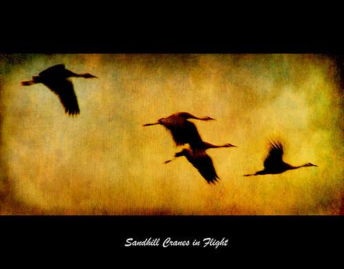 sunset motion texture photoshop canon flying wings movement nebraska flight migration sandhillcranes platteriver sandhillcranesinflight texturedlayers canoneosdigitalrebelxsi selectbestexcellence sbfmasterpiece jackaloha2
