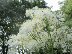 flower, tree, plant, herb, anthriscus, flora, meadowsweet,