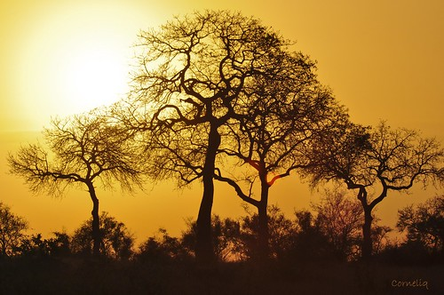 trees winter sun sunrise early warm colours satara knp blueribbonwinner rubyphotographer ruby10 ruby15