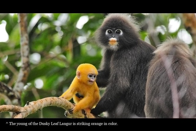 Dusky Leaf Langur with newborn