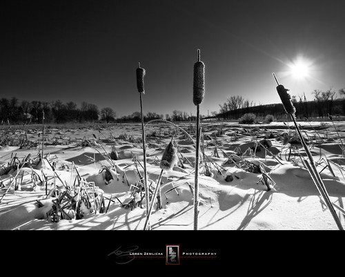 winter sky blackandwhite bw sun snow cold nature wisconsin landscape photography photo midwest shadows image january picture cattails madison marsh rays 2009 canonef1740mmf4lusm isthmus ninesprings lorenzemlicka canobneos5d