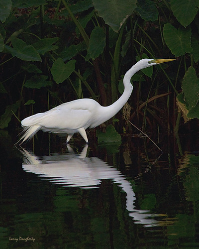 reflection bird water fly wings nikon louisiana neworleans ngc feathers d200 egret greategret wadingbird 100commentgroup saariysqualitypictures