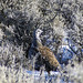 Winter Sage Grouse Rooster