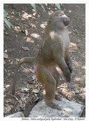 Monkey / Baboon