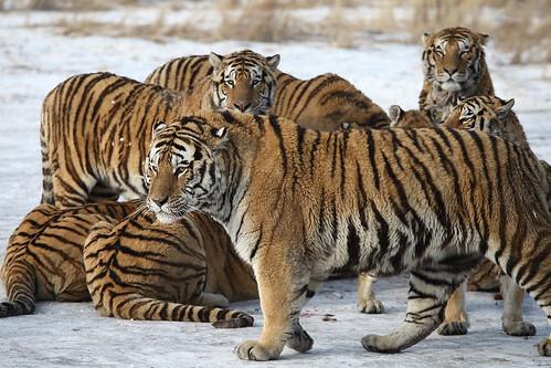 分食中的东北虎