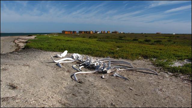 Whale skeleton on beach - photo#5
