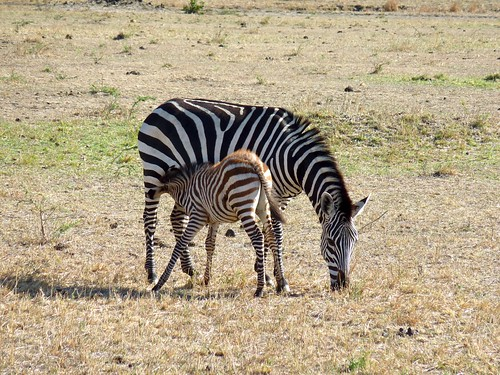 Zebra nursing its baby, Maasai Mara, Kenya