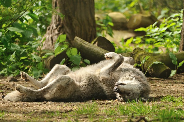 Wolf rolling on the ground flickr photo sharing