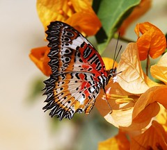 Red Lacewing butterfly.