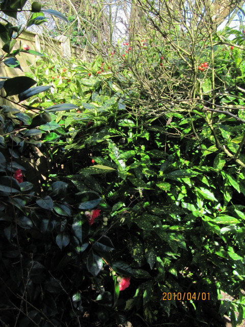 Foto: Japanse broodboom 'Crotonifolia'