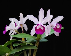 Cattleya intermedia var. orlata 'Crownfox' AM/AOS