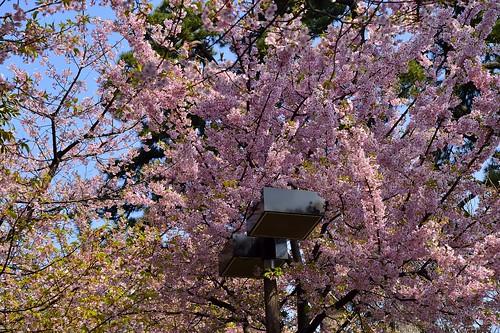 桜を被る外灯 by leicadaisuki