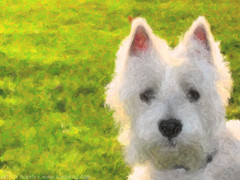 dog breed(1.0), animal(1.0), dog(1.0), schnoodle(1.0), pumi(1.0), pet(1.0), glen of imaal terrier(1.0), mammal(1.0), cairn terrier(1.0), west highland white terrier(1.0), scottish terrier(1.0), terrier(1.0),
