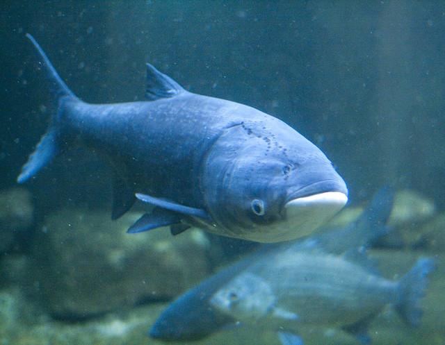 Asian Carp - Chicago's Shedd Aquarium   Flickr - Photo ...