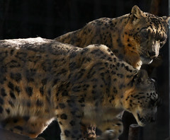 animal(1.0), snow leopard(1.0), big cats(1.0), leopard(1.0), mammal(1.0), jaguar(1.0), fauna(1.0), whiskers(1.0), wildlife(1.0),