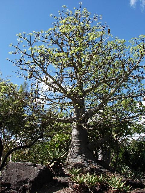 Baobab in mt coot tha b garden flickr photo sharing