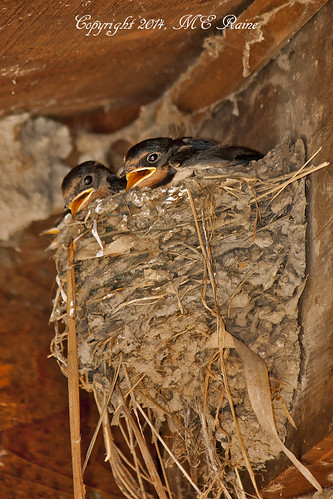 "new nature birds animals babies nest wildlife meadowlands wetlands chicks marsh swallow jersey"" richarddekortepark ""barn swallow"" ""lyndhurst"