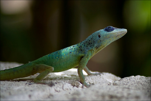 macro nature closeup geotagged reptile natur lizard barbados caribbean burningrubber eidechse karibik naturesfinest reptilien supershot canoneos400d geo:lat=1307608107589606 geo:lon=5960226904768288
