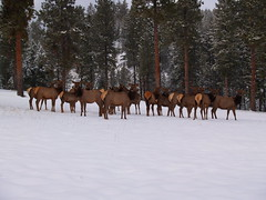 Elk and thier ilk