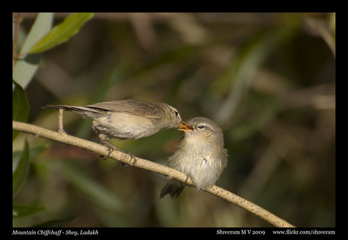 Mountain Chiffchaff feeding juvenile