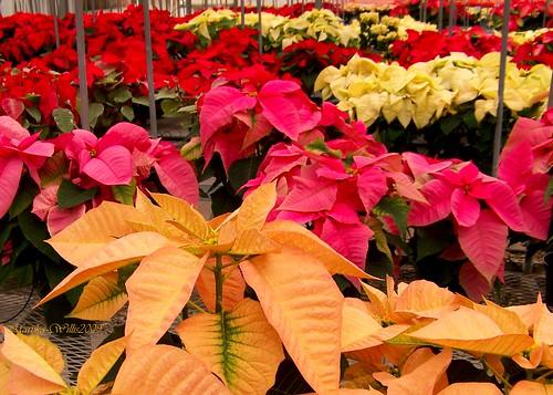 poinsettia poinsettias christmasplant environmentalhorticuluredepartment environmentalhorticulturepoinsettiashowandsale