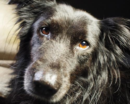 portrait dog black gimp molly hotlight 17mm zd olympusep1