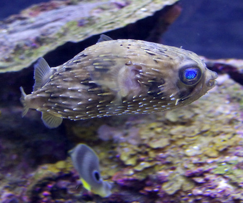 Puffer fish amazing facts for Facts about puffer fish