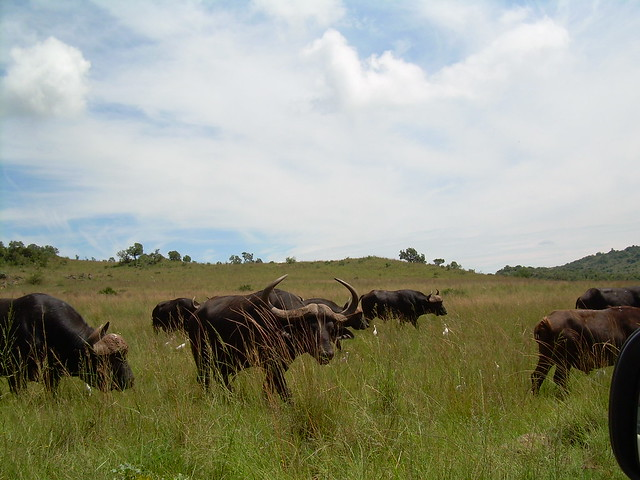 Buffalos  @ Rhino and Lion Nature Reserve
