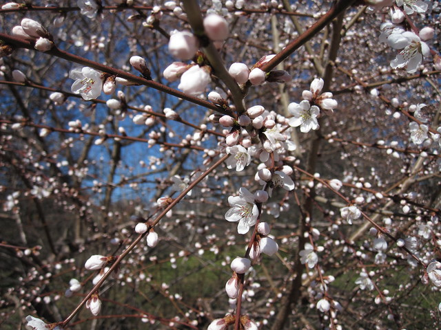 Prunus kansuensis,  or Kansu Peach, explodes into bloom. Photo by Rebecca Bullene