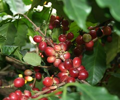 shrub, berry, plant, chokecherry, produce, fruit, food,