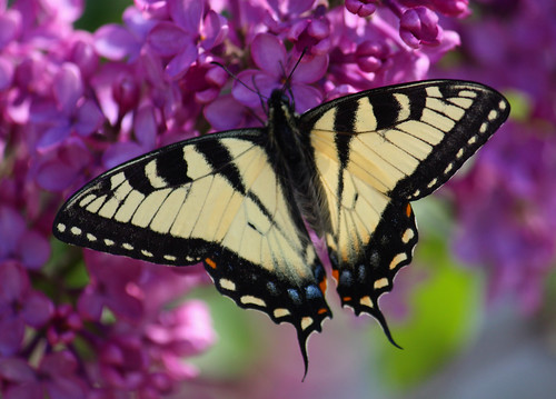 ~ Butterfly and Lilacs ~