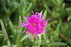 grass(0.0), ice plant(0.0), shrub(1.0), pigface(1.0), flower(1.0), plant(1.0), macro photography(1.0), flora(1.0),