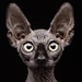 Sphynx Cat by Patrick Matte